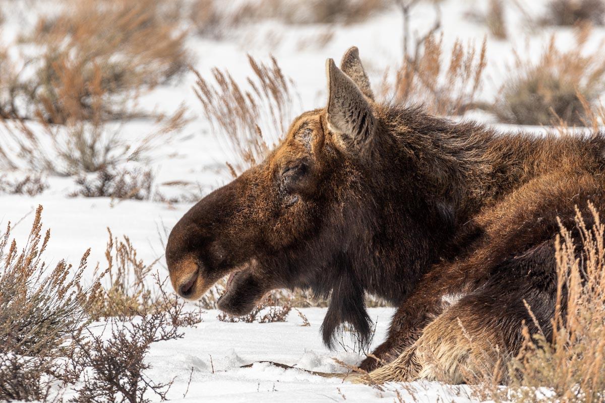 Bull moose at Tetons