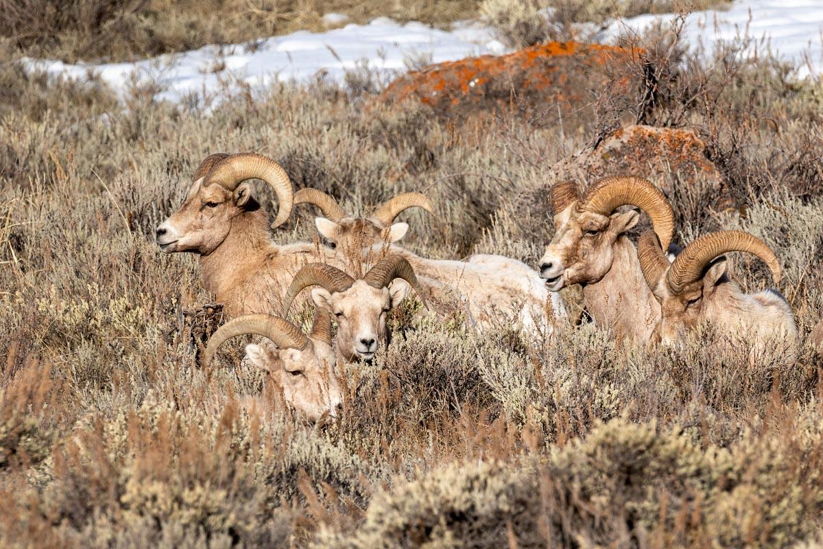 Bighorn Sheep rams Jackson Hole