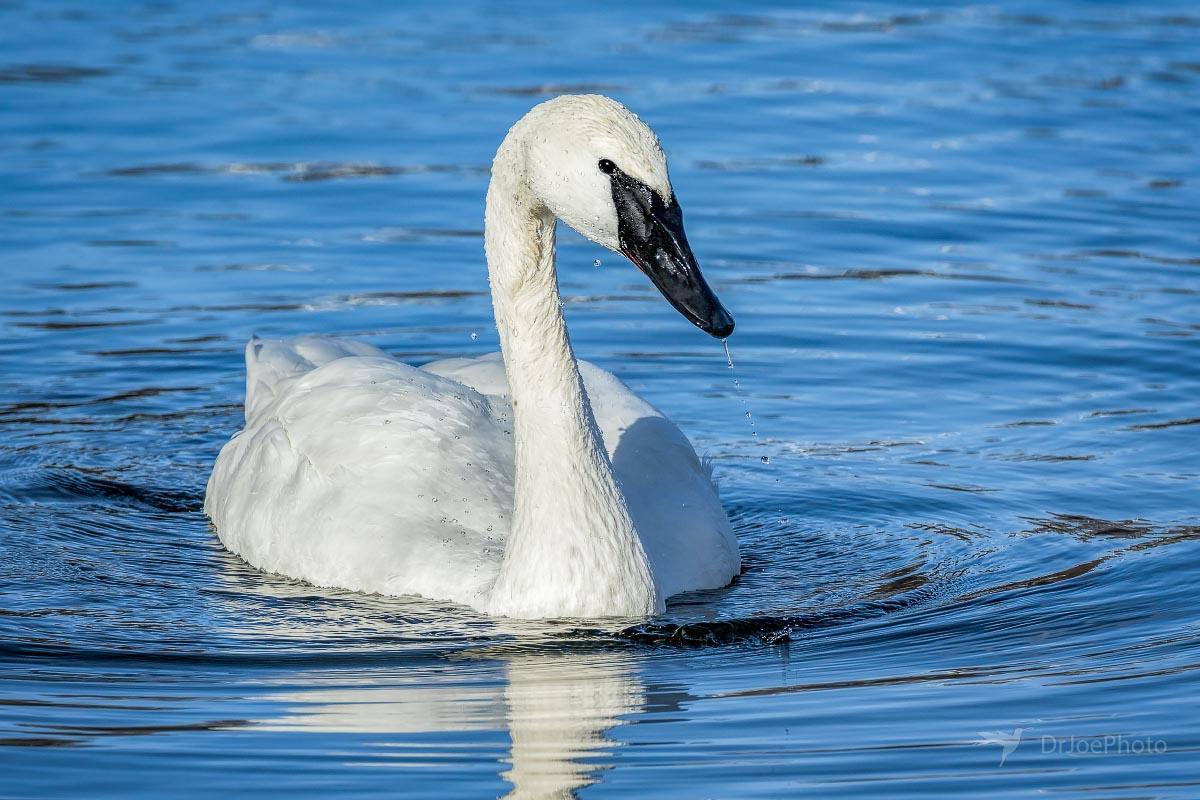 Trumpeter Swan Wyoming