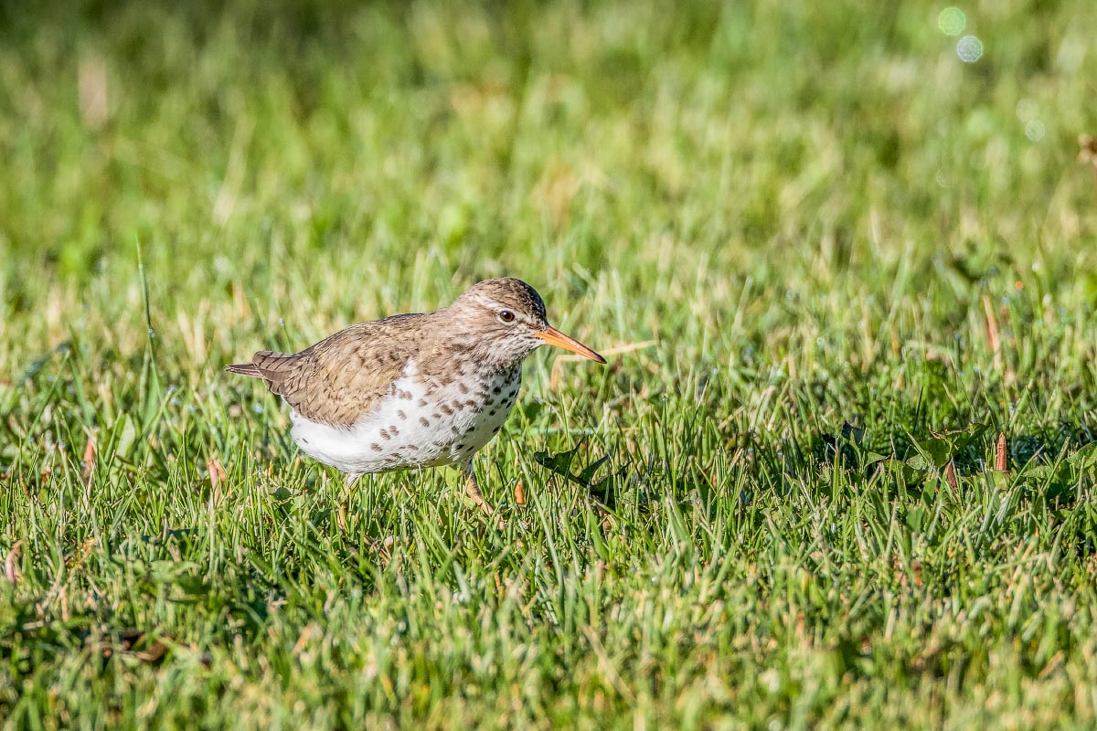 Spotted Sandpiper Wyoming
