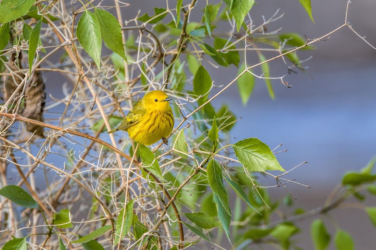 Yellow Warbler Wyoming
