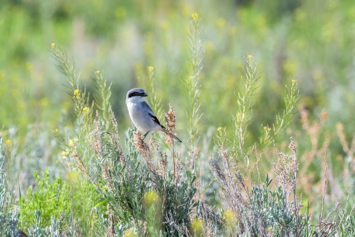 Loggerhead Shrike Wyoming