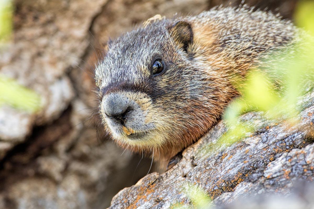 Yellow-bellied Marmot Wyoming