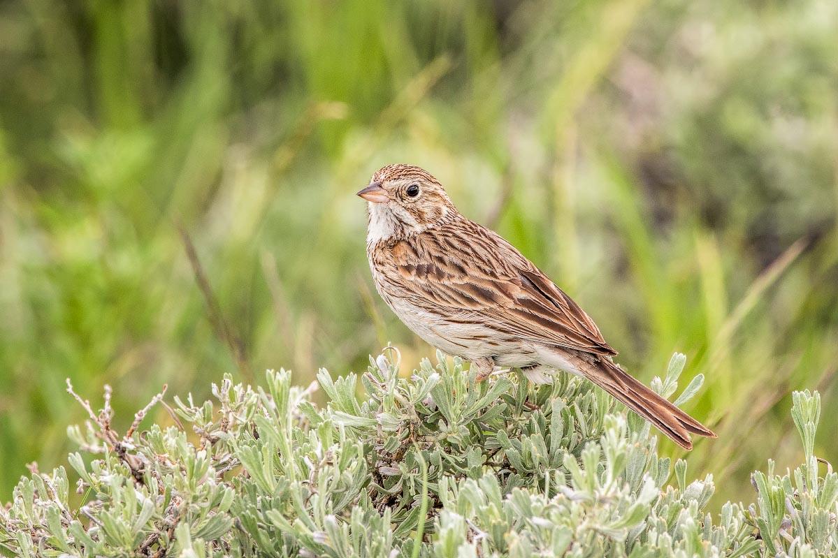 Vesper Sparrow Wyoming