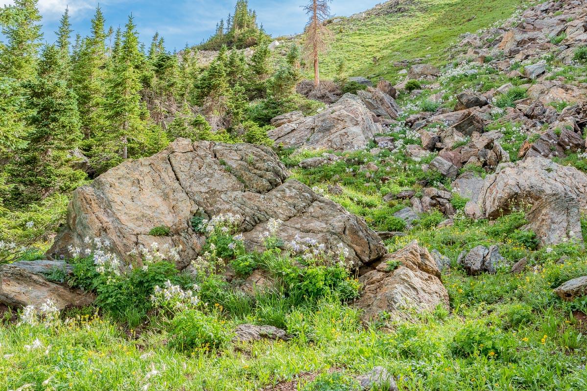 Columbine Snowy Range Wyoming