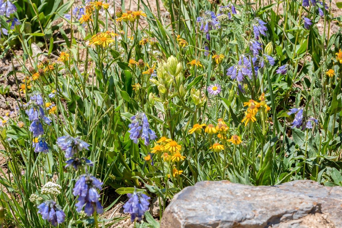 Wildflowers Snowy Range Wyoming