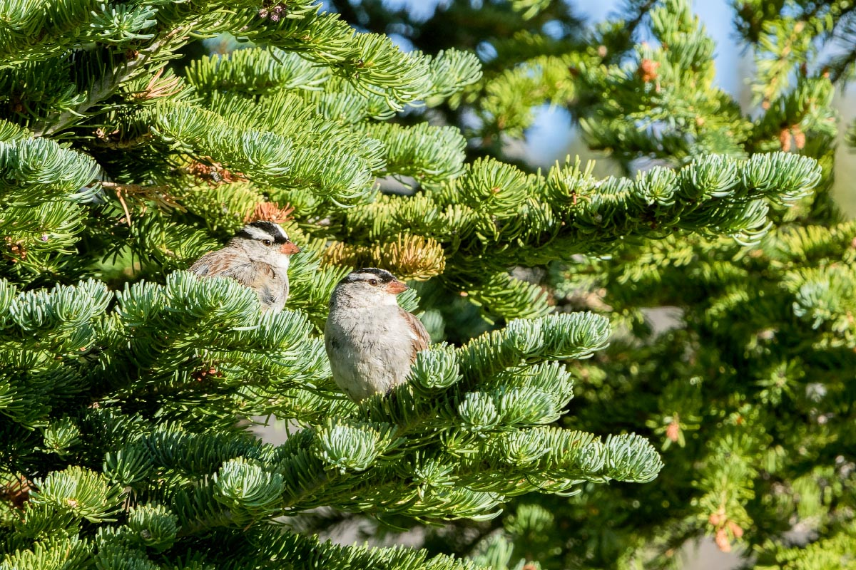 White-crowned Sparrows Snowy Range Wyoming