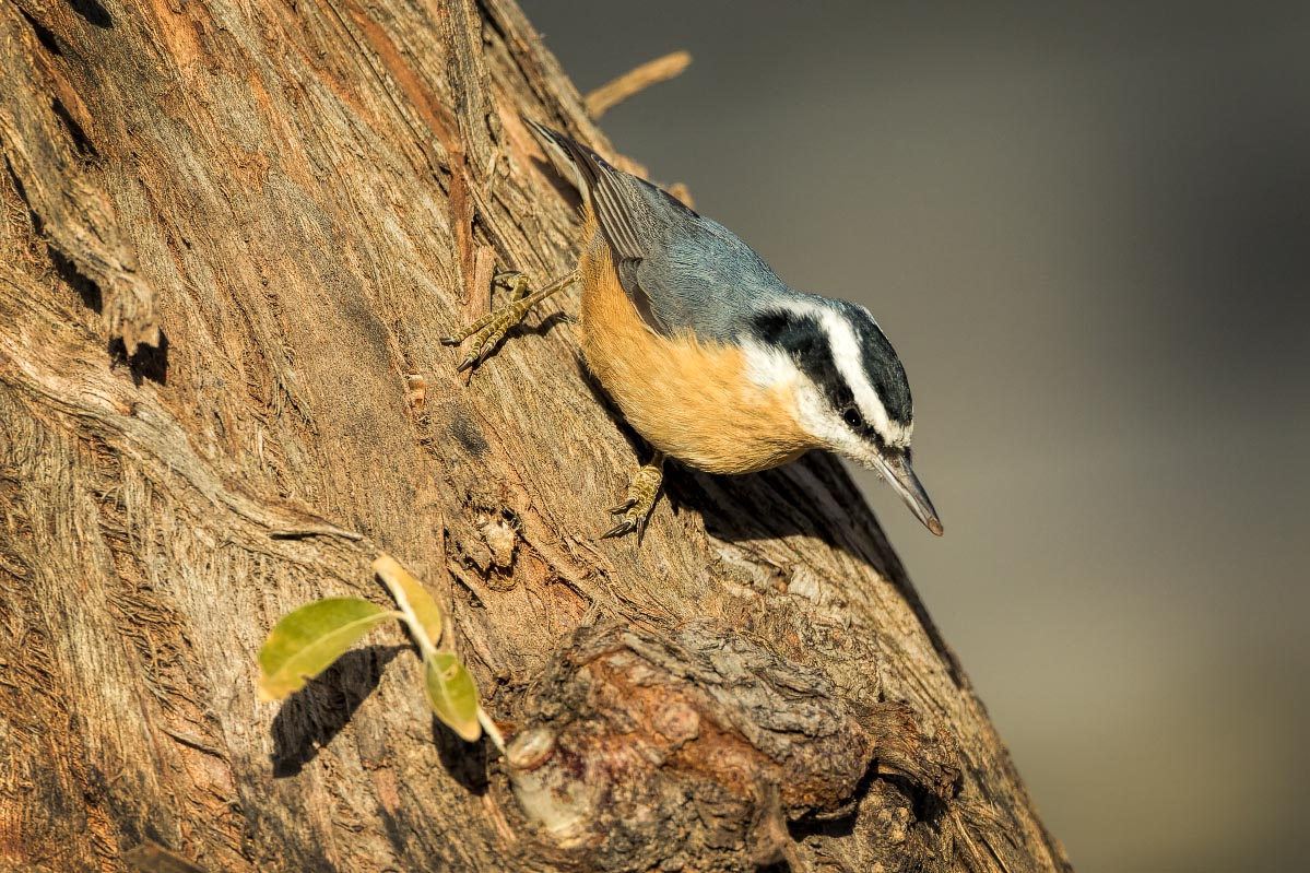 Red-breasted Nuthatch Wyoming