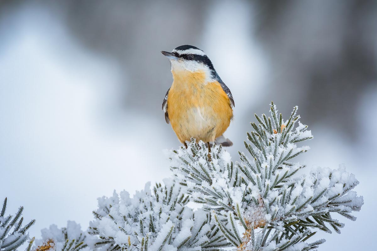 Red-breasted Nuthatch hoarfrost
