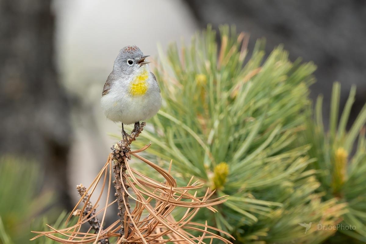 Virginia's Warbler Sinks Canyon State Park Wyoming