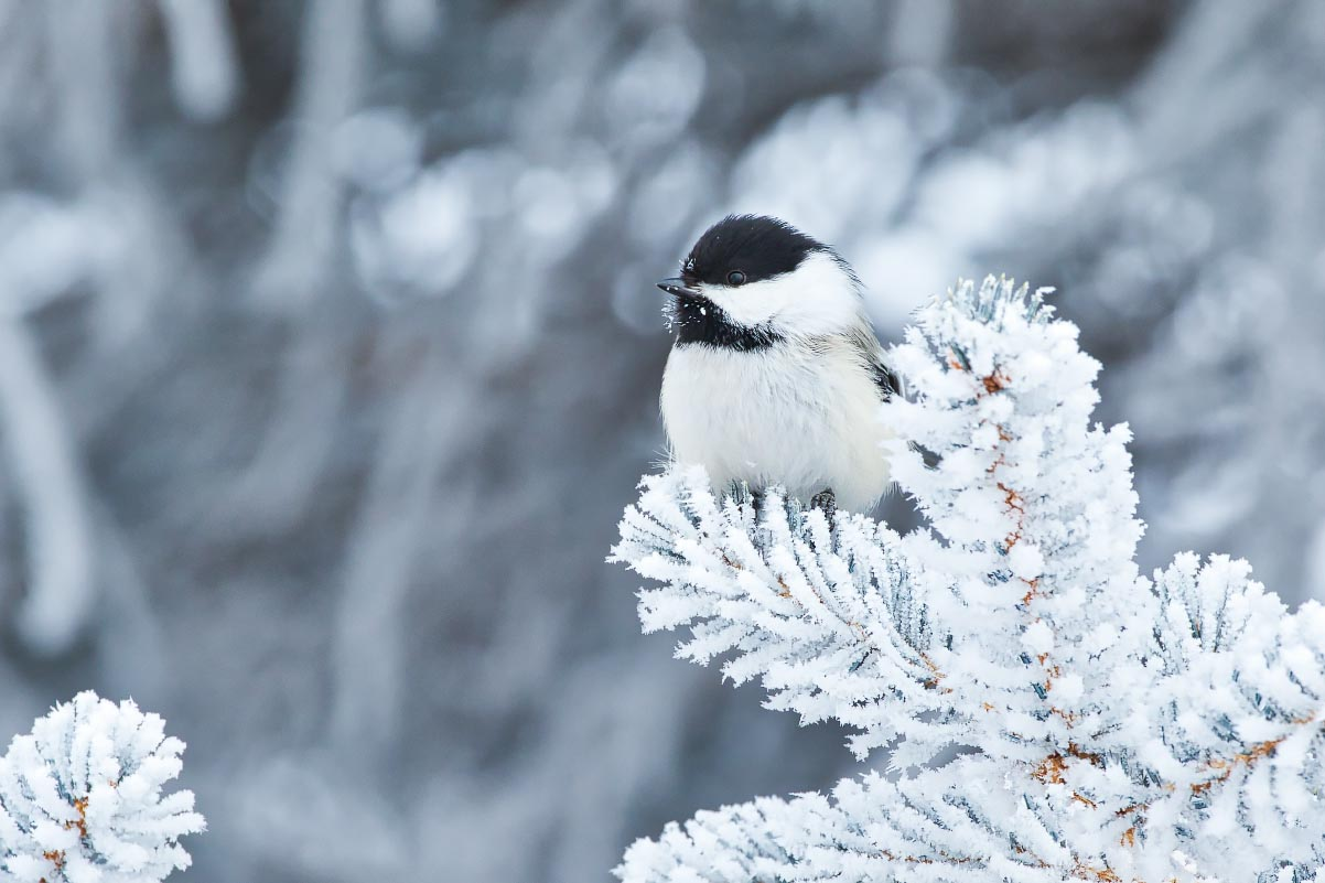 Black-capped Chickadee Hoarfrost