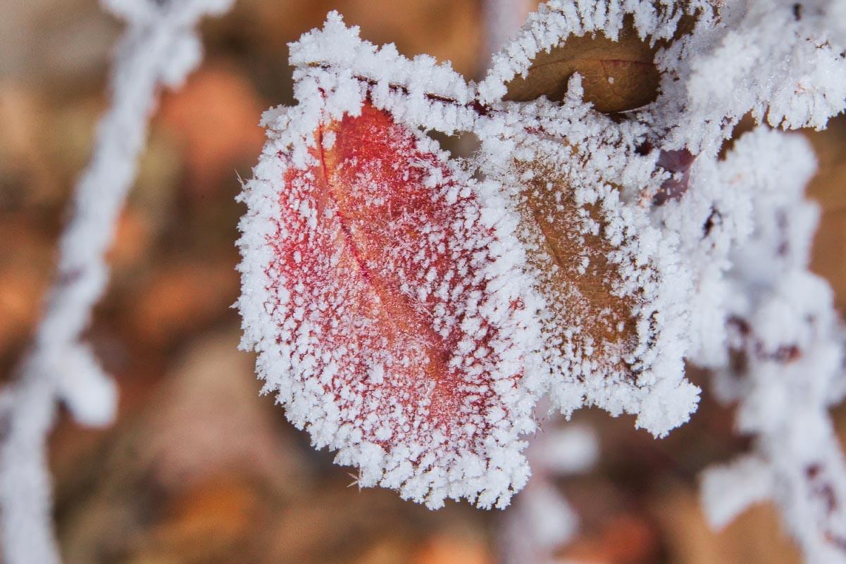 Rose hoarfrost