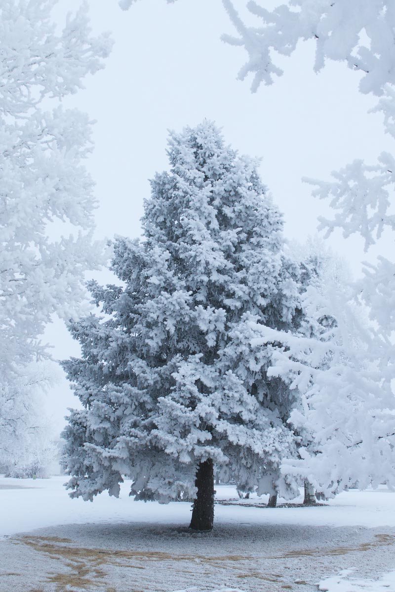 Spruce hoarfrost