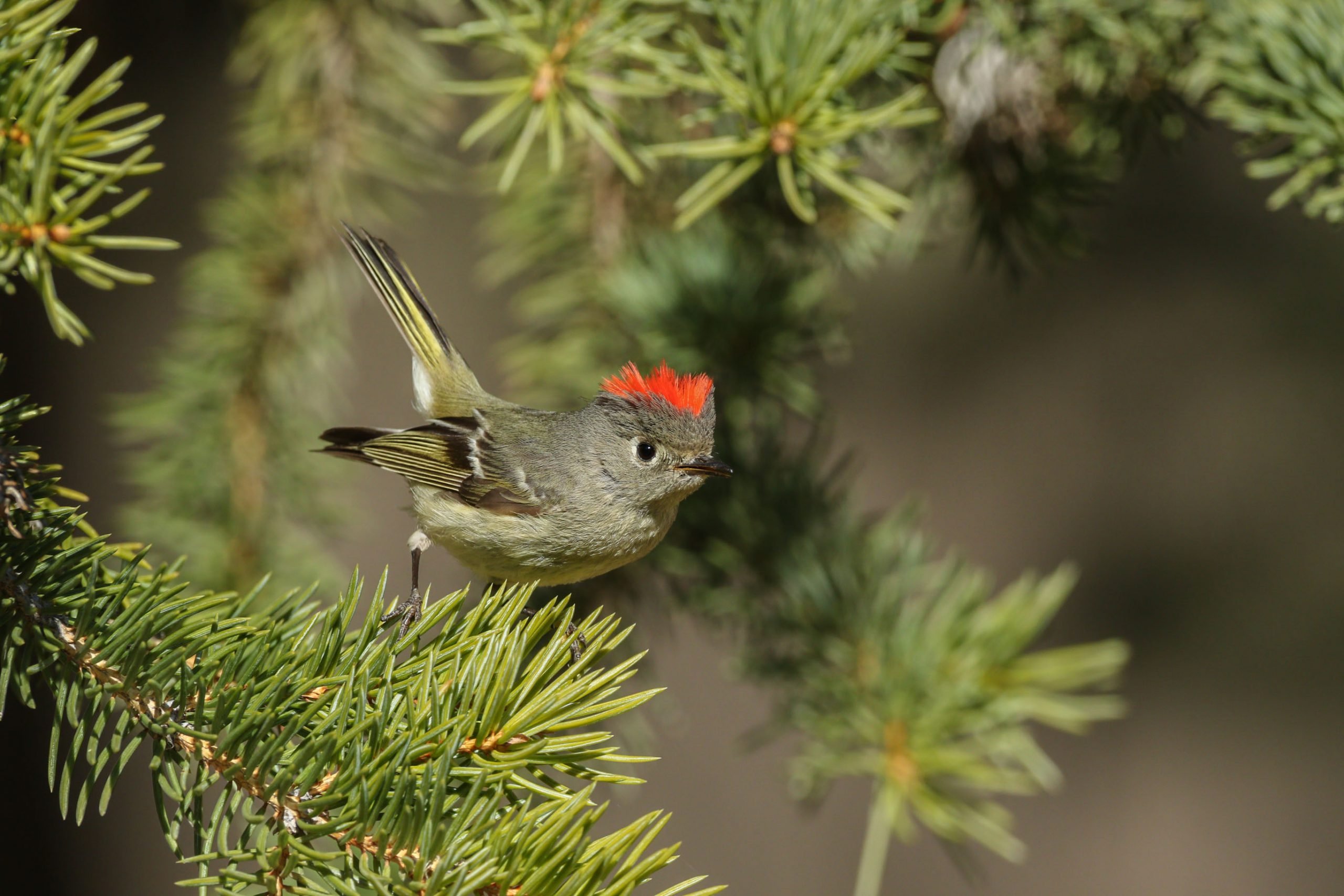Ruby-crowned Kinglet Wyoming