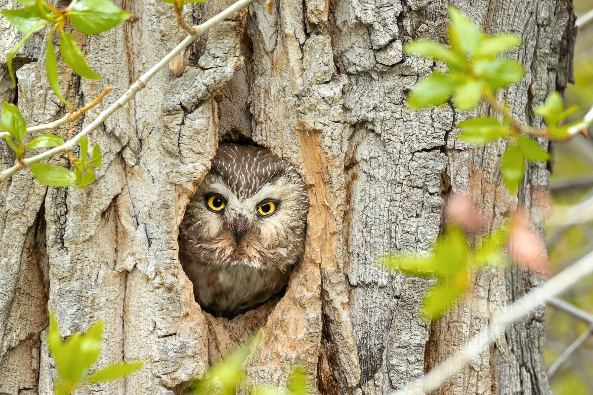 Northern Saw-whet Owl Sinks Canyon State Park Wyoming