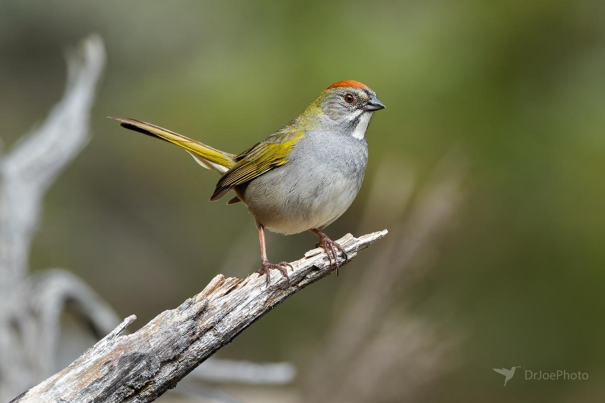 Green-tailed Towhee Wyoming