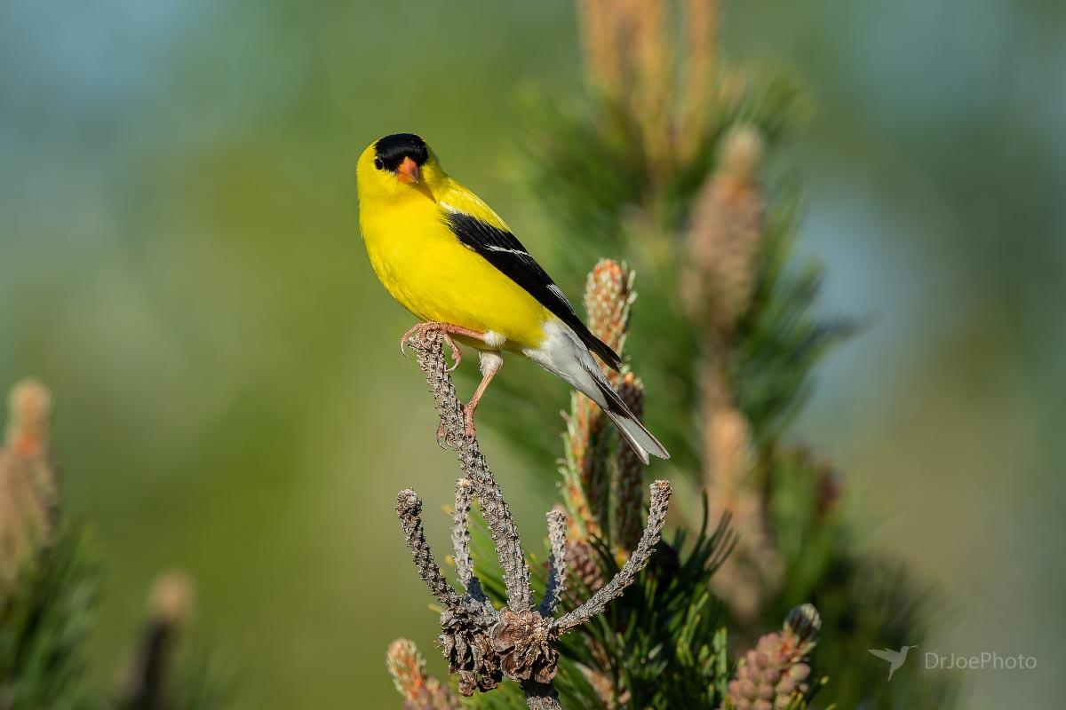 American Goldfinch Wyoming