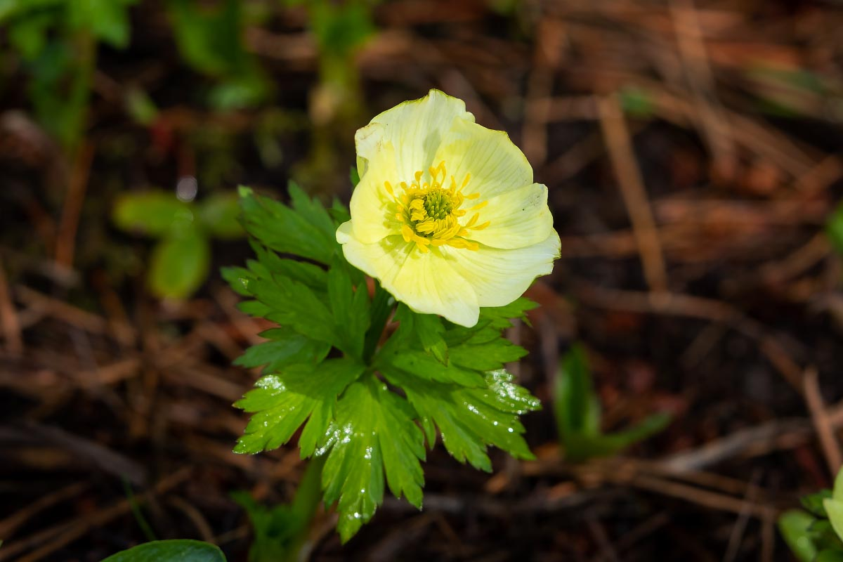 American Globeflower wildflower Wyoming