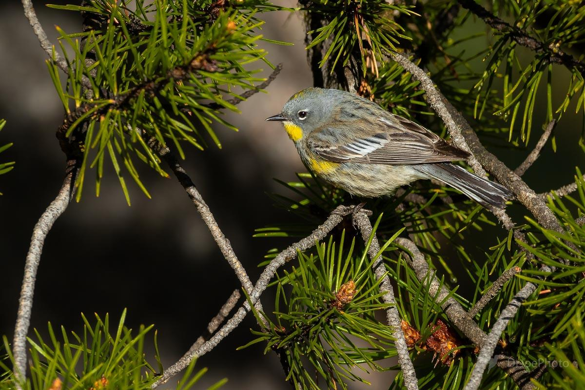 Female Yellow-rumped Warbler Audubon race Wyoming