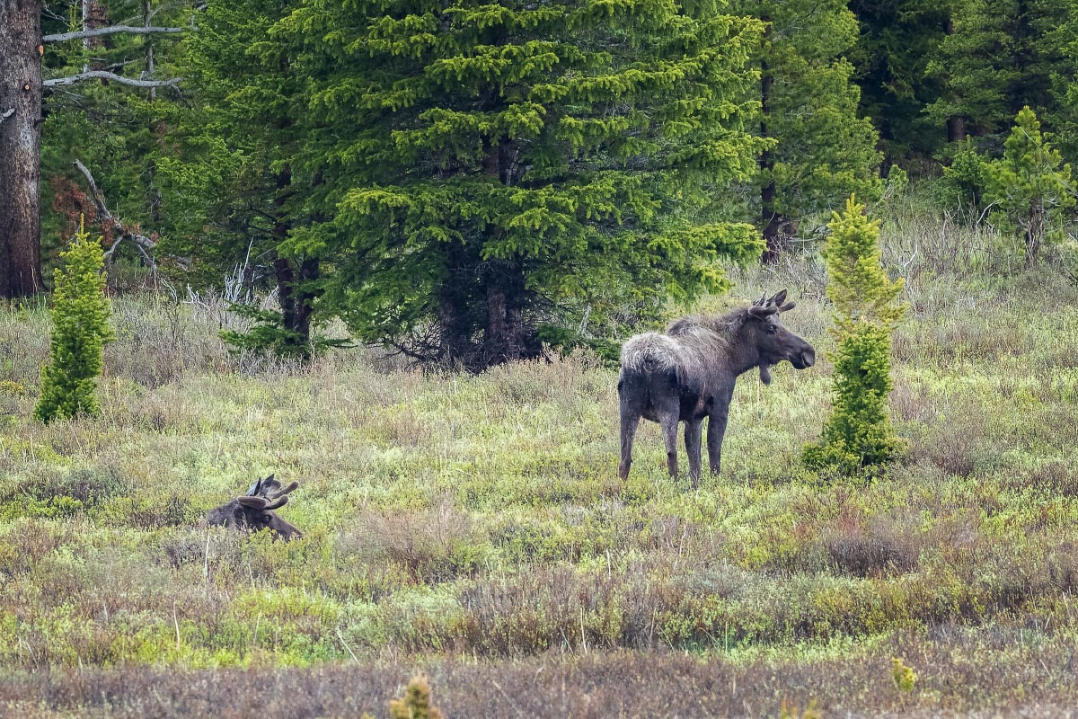 Bull Moose Wyoming