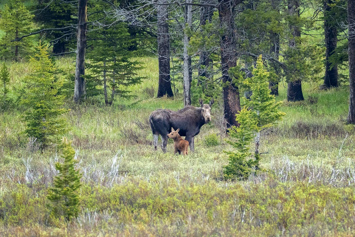 Cow Moose with calf Wyoming