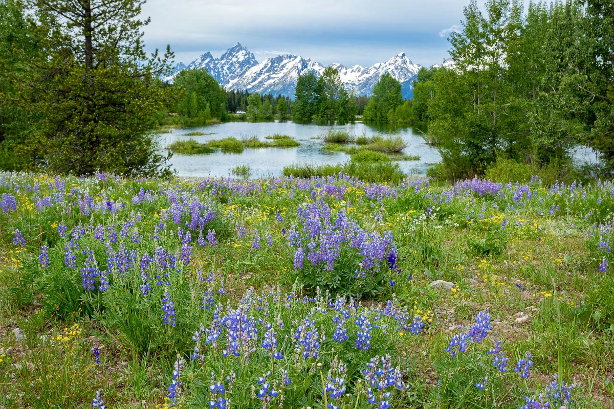 Lupine Pilgrim Creek Pond Wyoming