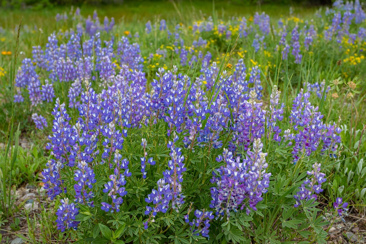 Lupine wildflowers Wyoming