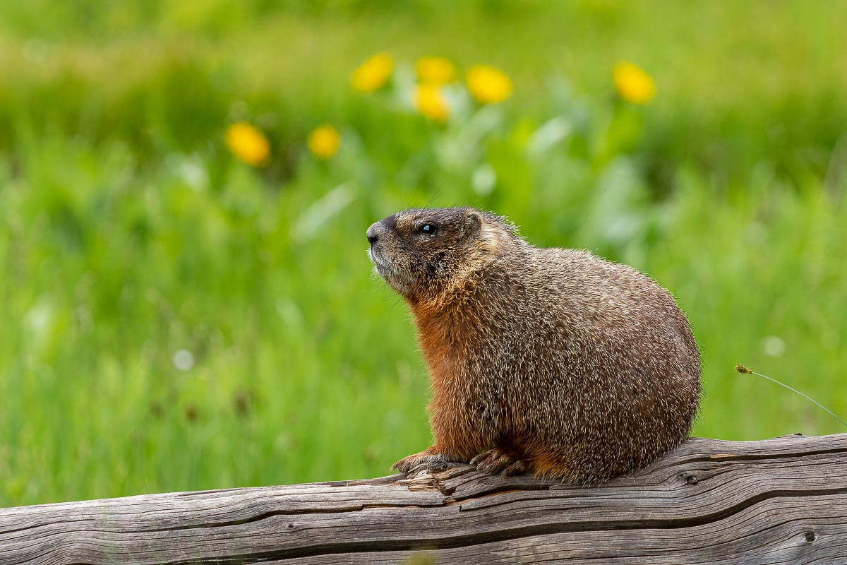 Yellow-bellied Marmot Grand Teton National Park Wyoming