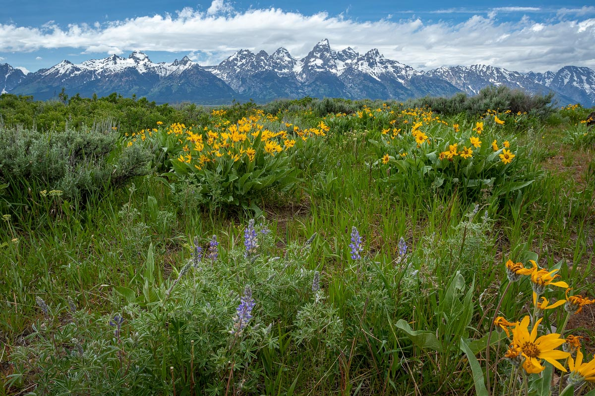 Grand Teton National Park wildflowers Wyoming