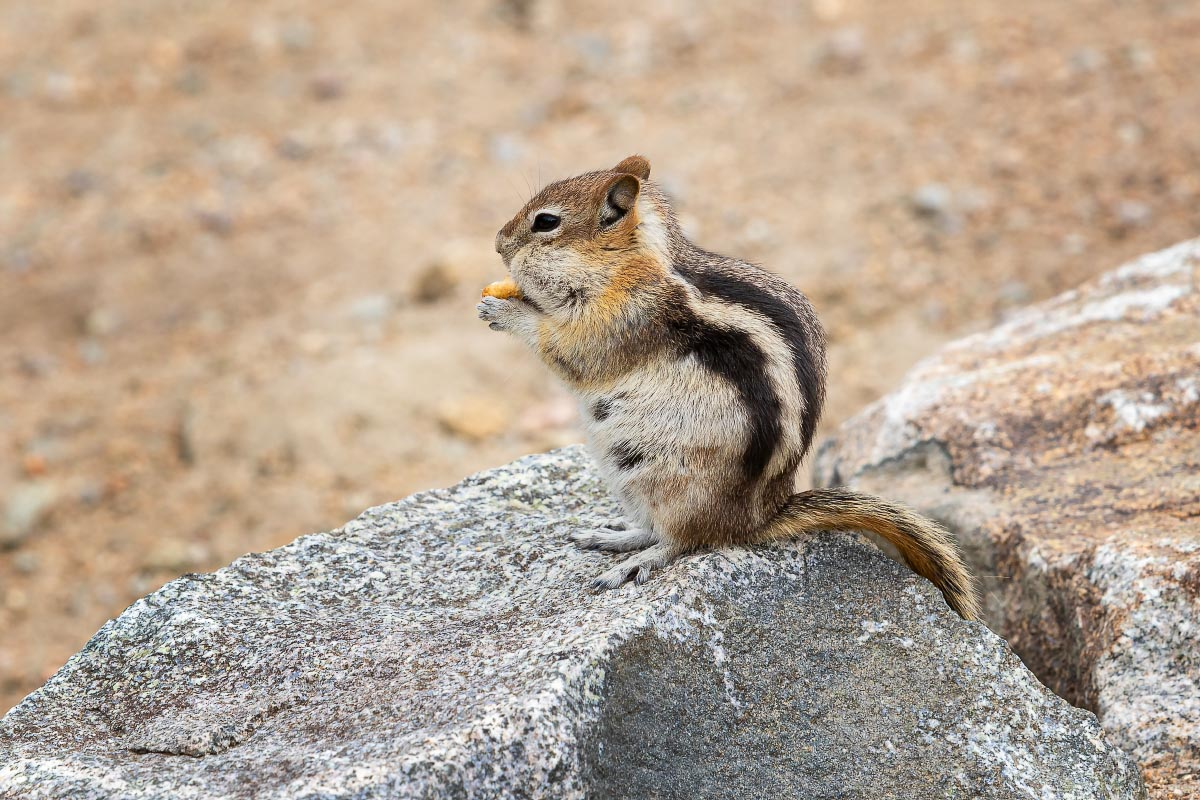 Golden-mantled Ground Squirrel Wyoming