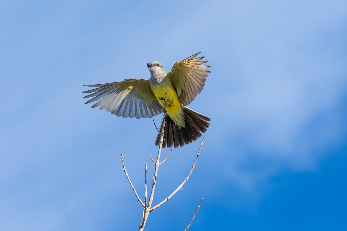 Western Kingbird Wyoming