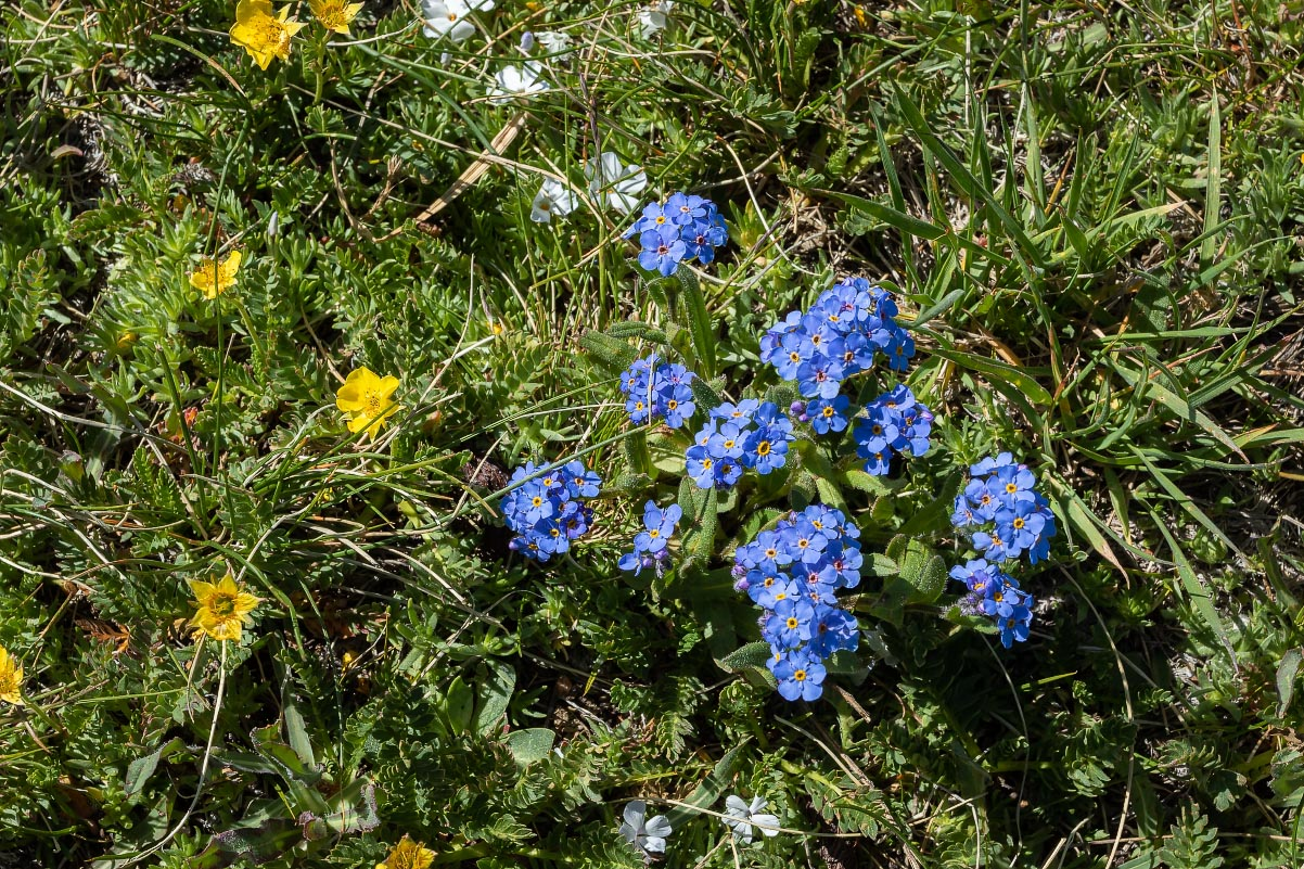 Alpine Forget-me-nots Wyoming