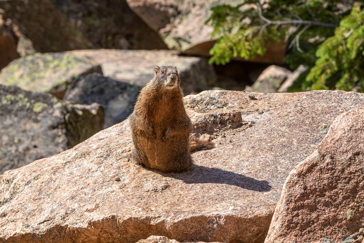 Yellow-bellied Marmot Wyoming