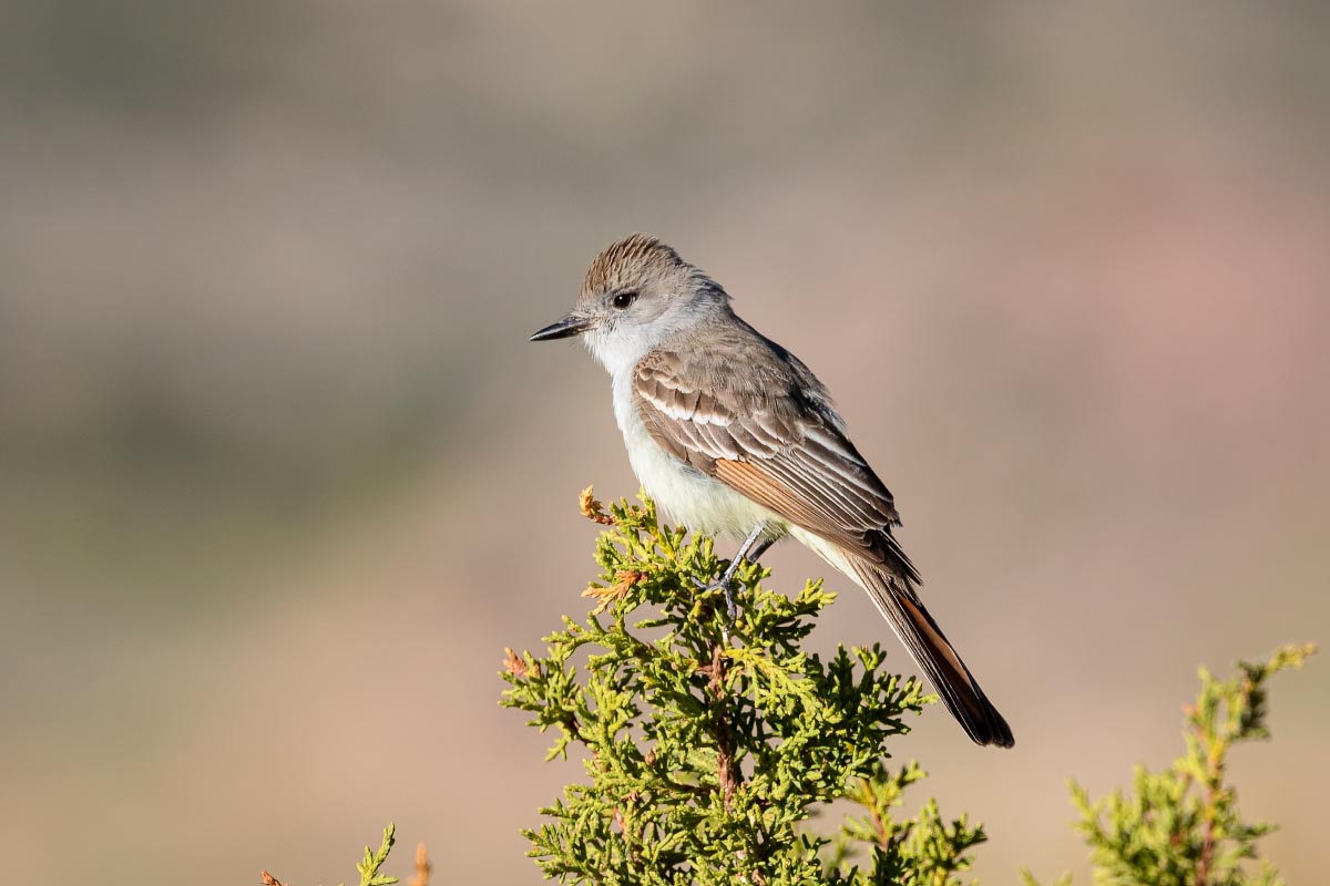 Ash-throated Flycatcher Wyoming