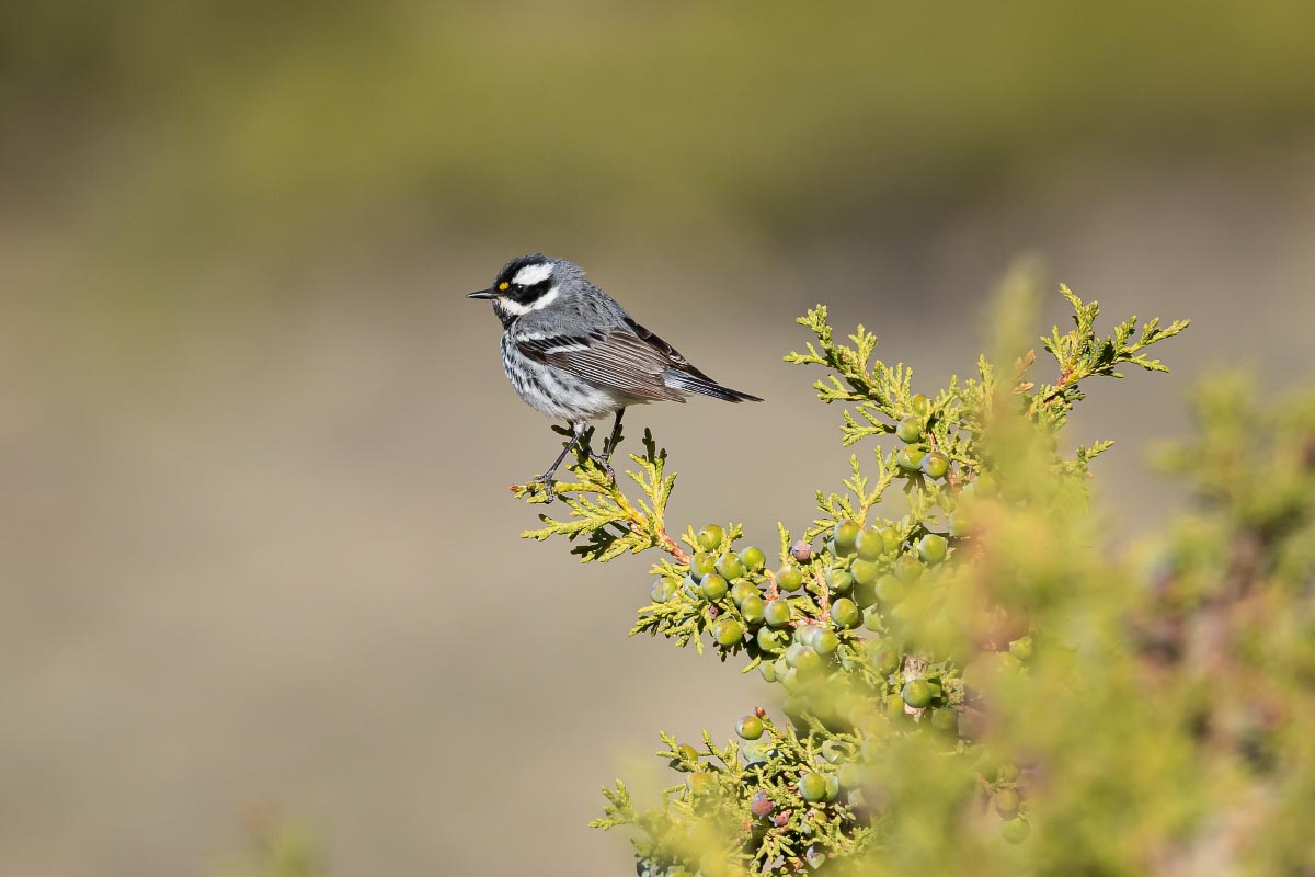 Black-throated Gray Warbler Wyoming