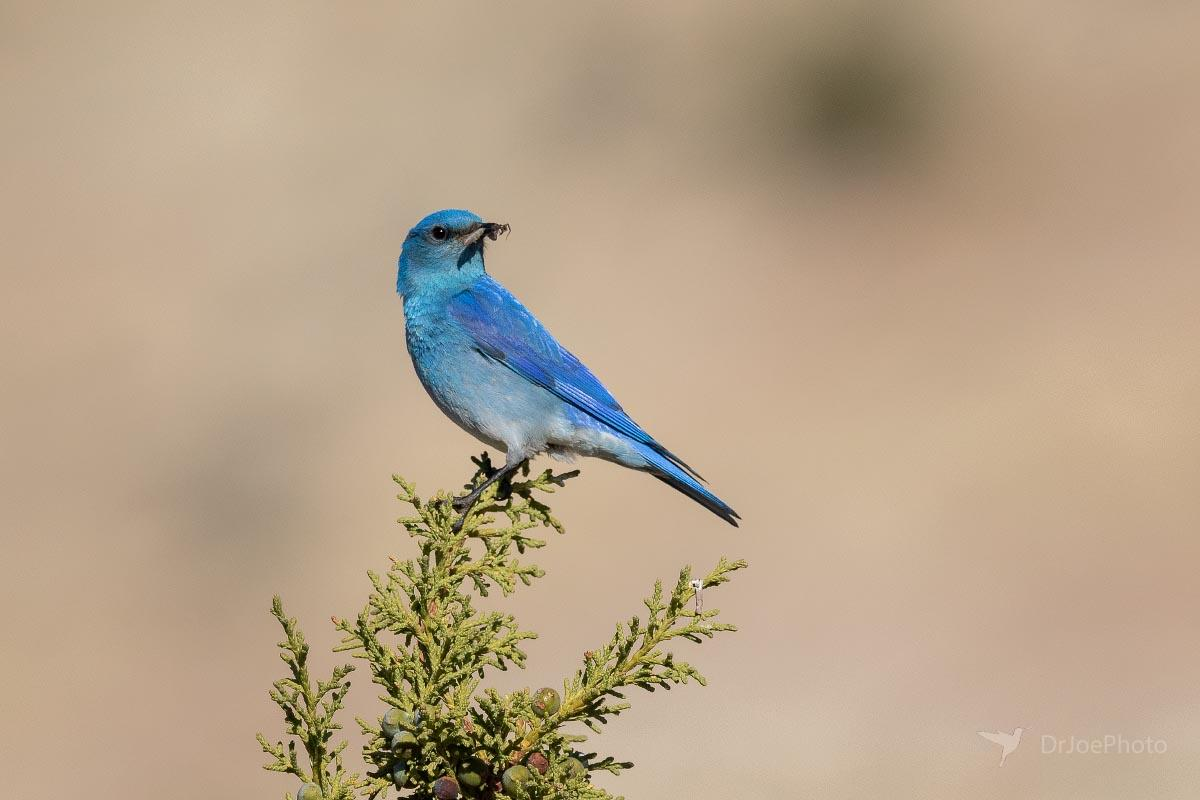 Mountain Bluebird Wyoming