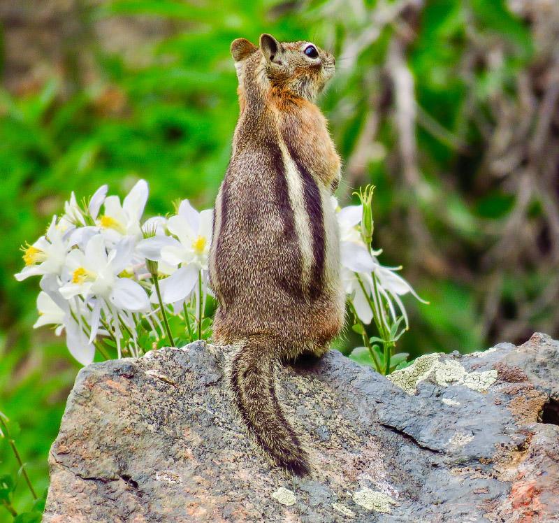 Golden-mantled Ground Squirrel Columbine Wyoming