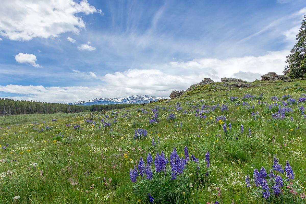 Big Horn Mountains wildflowers Wyoming