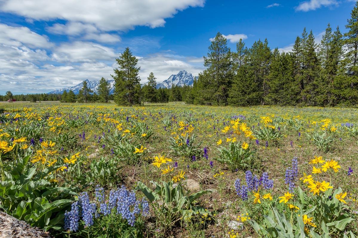Lupine, Arrowleaf Balsamroot, Mount Moran Wyoming