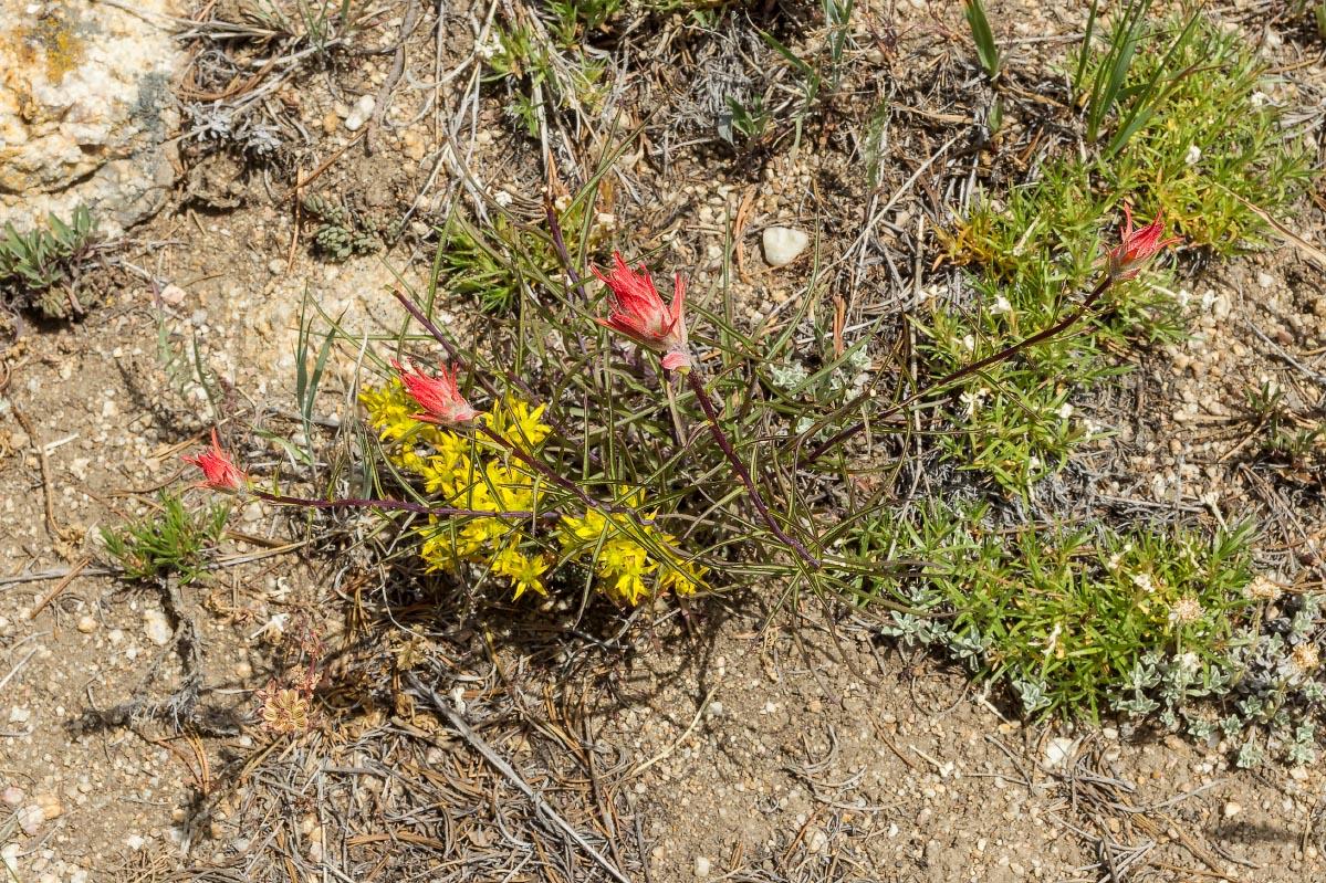 Paintbrush, Lanceleaf Stonecrop Wyoming