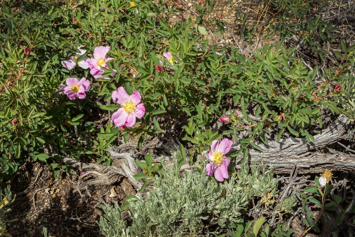Wild Alberta Rose, Sagebrush Wyoming