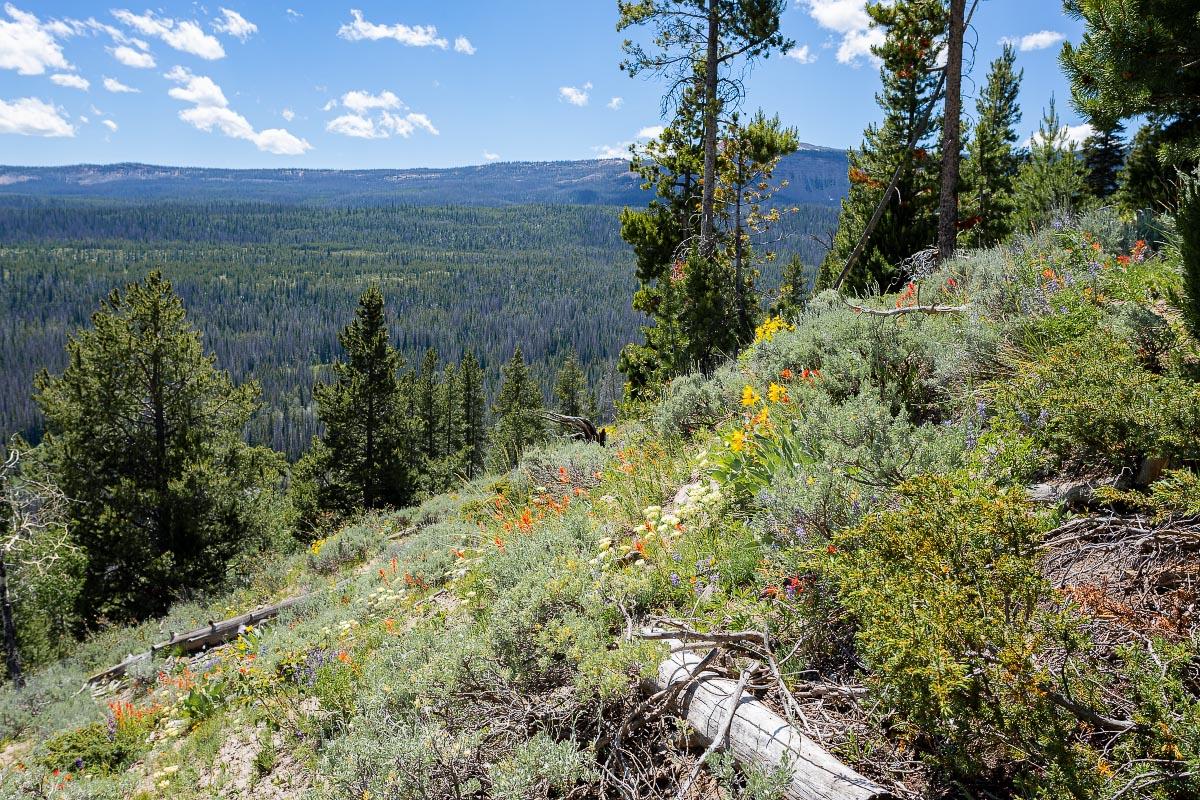 Falls Campground wildflowers Wyoming