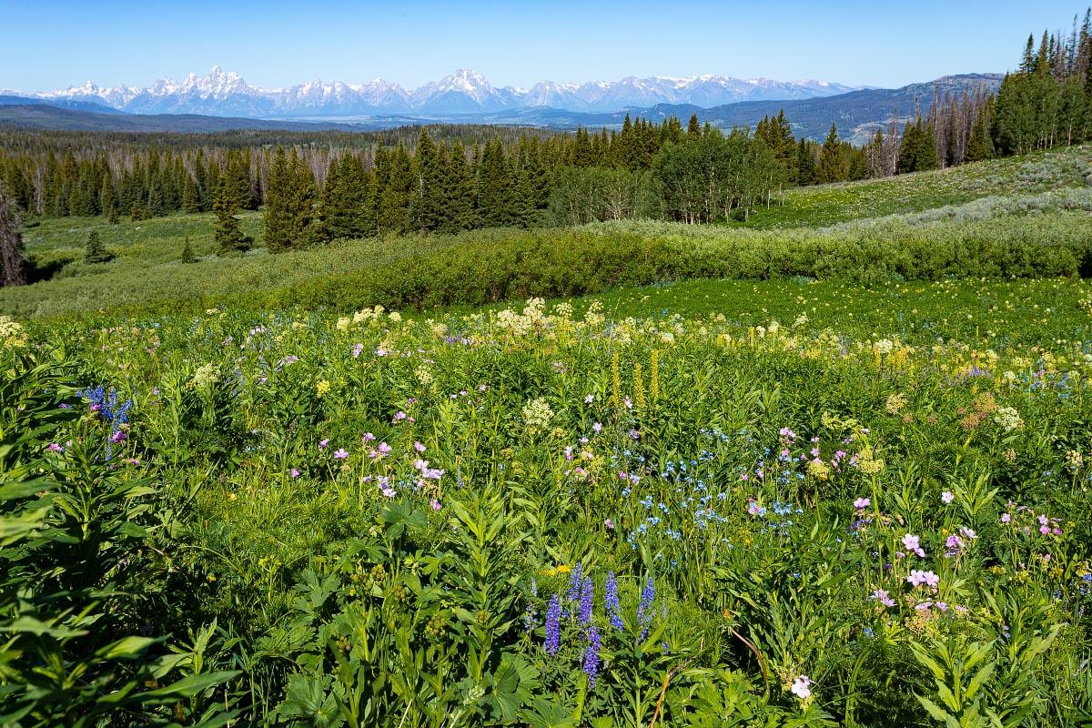 Grand Teton National Park wildflowers Wyoming