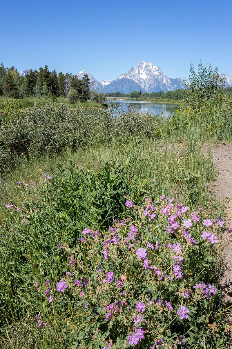 Sticky Geraniums wildflowers Oxbow Bend Wyoming
