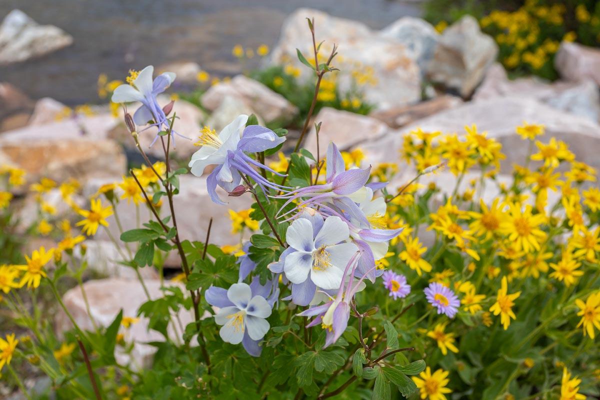 Columbine with Subalpine Arnica wildflower Wyoming