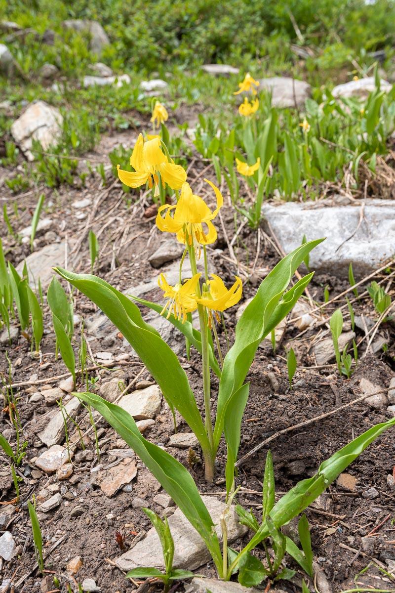 Glacier Lily wildflower Wyoming