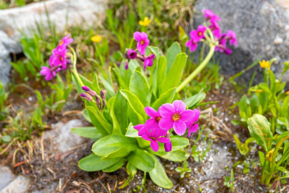 Parry's Primrose wildflower Wyoming