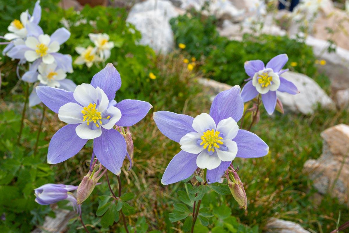 Columbine wildflowers Wyoming