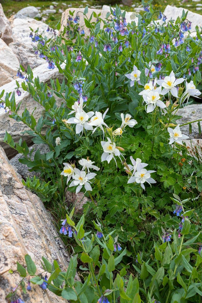 Columbine with Mountain Bluebells wildflowers Wyoming