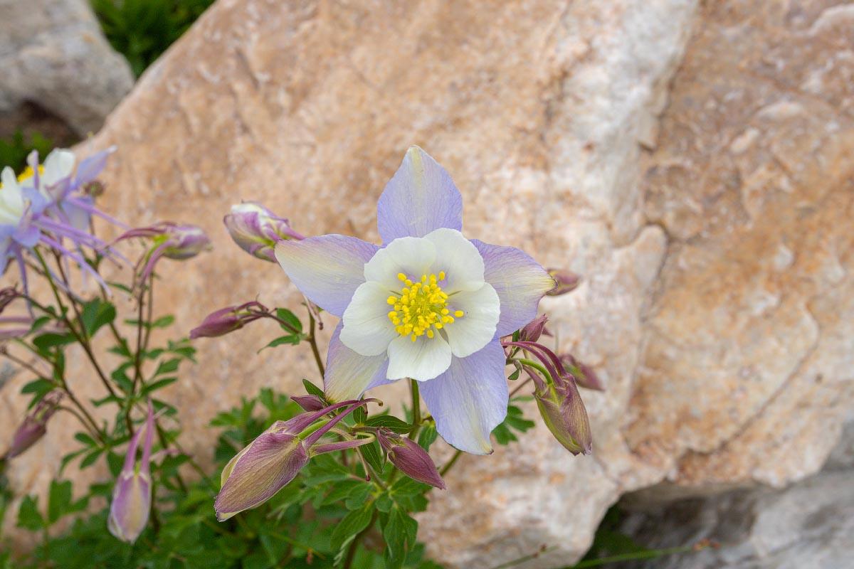 Columbine wildflower Wyoming